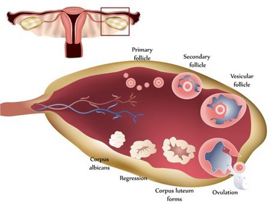 seconda-settimana-gravidanza