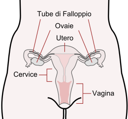 https://www.periodofertile.it/wp-content/uploads/2013/11/cervice.png