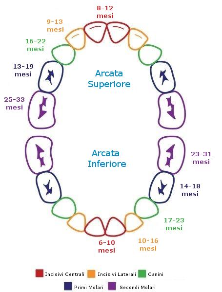 Denti da latte a quanti mesi crescono schema dentizione for A quanti mesi i cani cambiano i denti