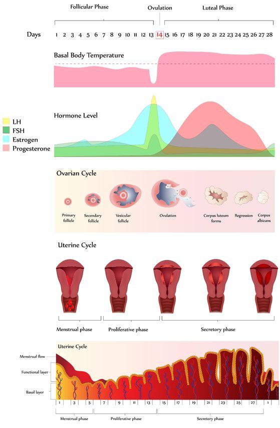 fasi del ciclo mestruale