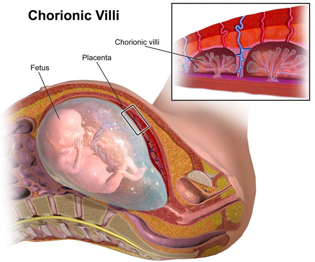 Vellosidades coriónicas