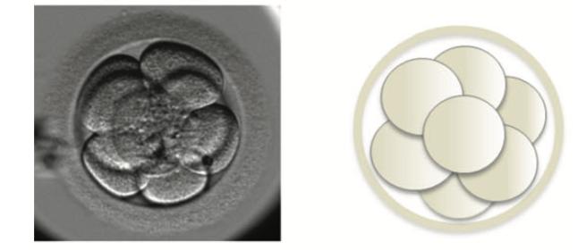 embrione in quarta giornata